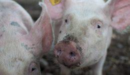 African Swine Fever devastates swine herds across Europe.